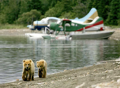 Grizzly bear fishing for salmon at Brooks Falls in Katmai National Park