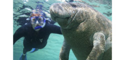 A manatee at play with a snorkeler at Crystal River