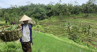 Worker at a rice field