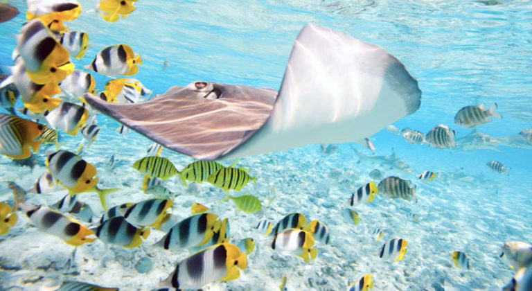 A stingray with a school of fish © ALEXANDER SHALAMOV | DREAMSTIME.COM