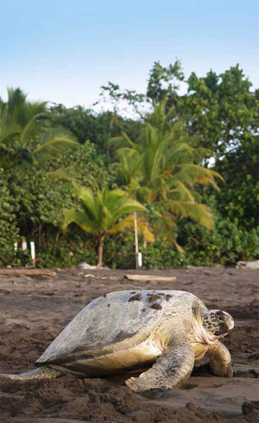 Sea turtle crawling from the beach to the sea in Tortuguero National Park