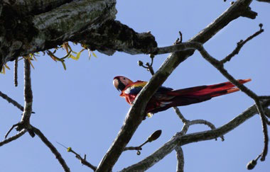 A scarlet macaw in a tree