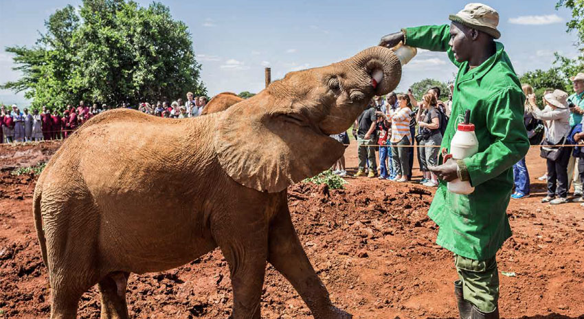 Baby elephant feeding time at Sheldrick Wildlife Trust Orphanage