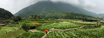 The calla lily field in Yangmingshan National Park