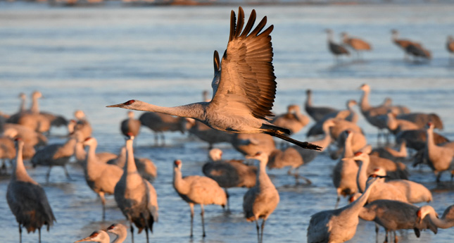 A Night With The Sandhill Cranes At The Crane Trust In >> Vip Crane Trust Experience Review Global Traveler