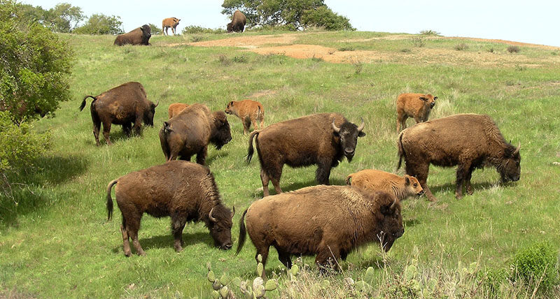 A herd of about 150 American bison