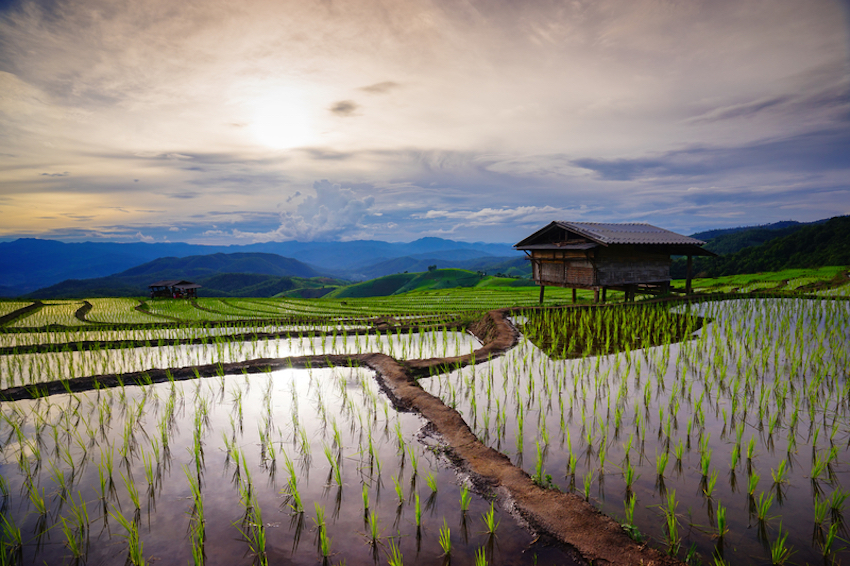 Green rice field in Chiang Mai, Thailand © Kriangkraiwut Boonlom | Dreamstime.com